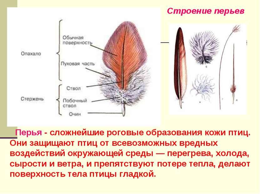Перья - сложнейшие роговые образования кожи птиц. Они защищают птиц от всевоз...