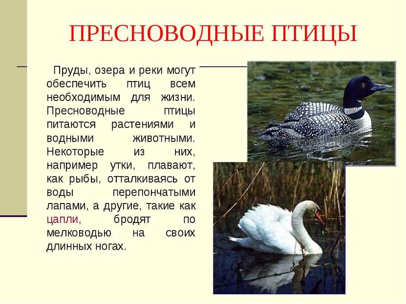 ПРЕСНОВОДНЫЕ ПТИЦЫ Пруды, озера и реки могут обеспечить птиц всем необходимым...