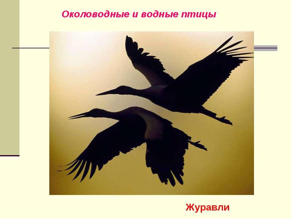 Околоводные и водные птицы Журавли