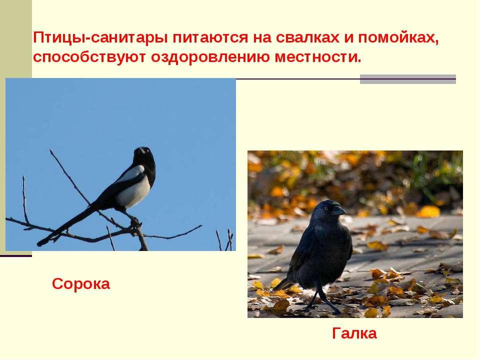 Птицы-санитары питаются на свалках и помойках, способствуют оздоровлению мест...