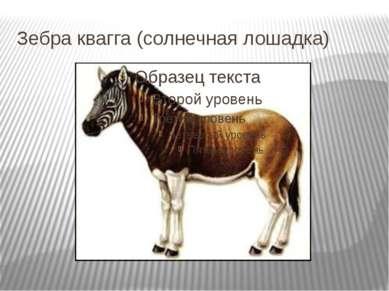 Зебра квагга (солнечная лошадка)