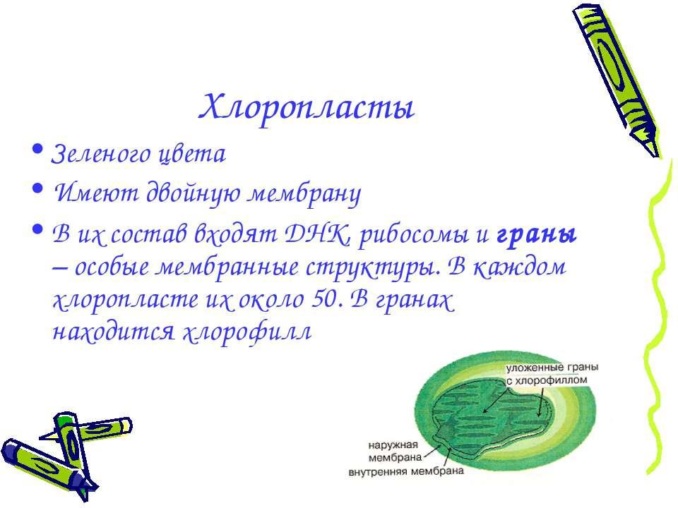 Хлоропласты Зеленого цвета Имеют двойную мембрану В их состав входят ДНК, риб...