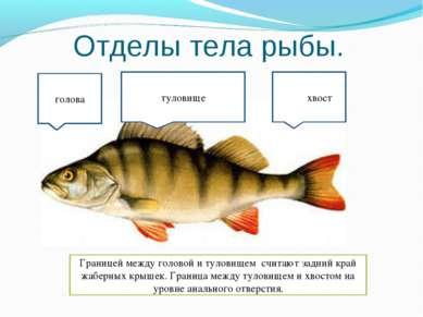 Отделы тела рыбы. туловище голова ххвостхвост Границей между головой и тулови...