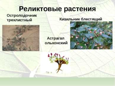 Реликтовые растения Астрагал ольхонский Кизильник блестящий Остролодочник тре...