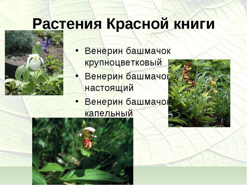 Растения Красной книги Венерин башмачок крупноцветковый Венерин башмачок наст...