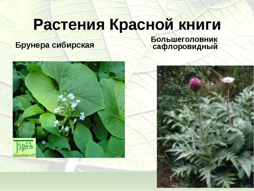 Растения Красной книги Брунера сибирская Большеголовник сафлоровидный