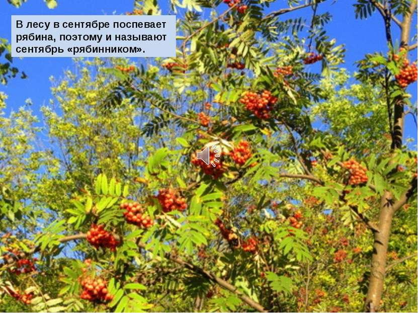 В лесу в сентябре поспевает рябина, поэтому и называют сентябрь «рябинником».
