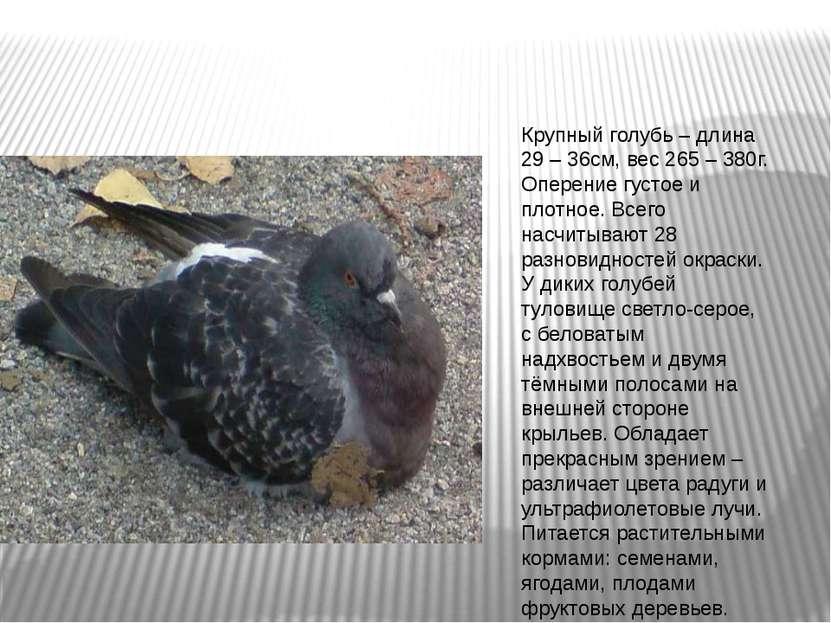 Крупный голубь – длина 29 – 36см, вес 265 – 380г. Оперение густое и плотное. ...