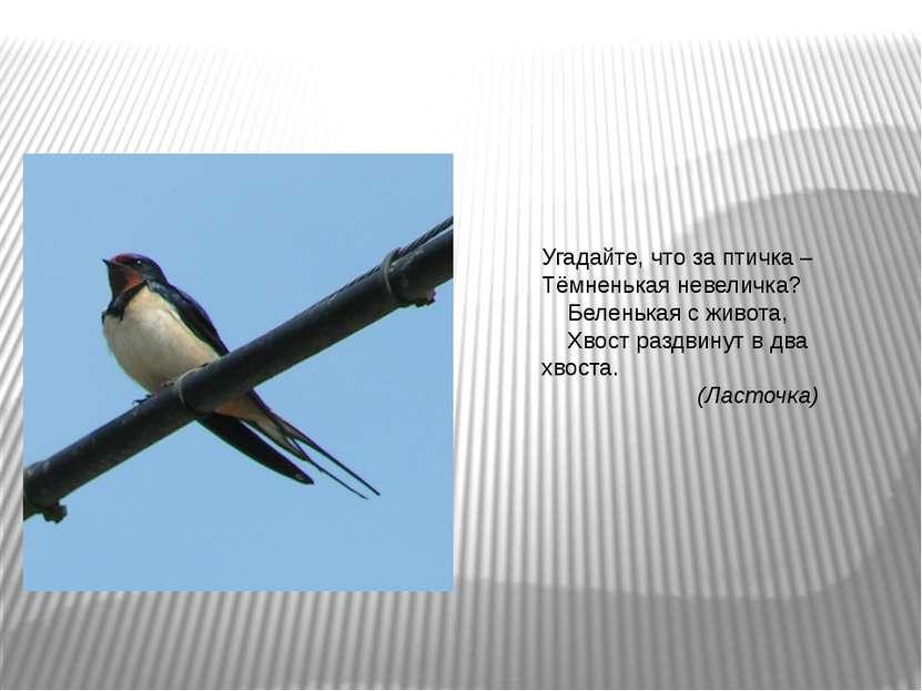 Угадайте, что за птичка – Тёмненькая невеличка? Беленькая с живота, Хвост раз...