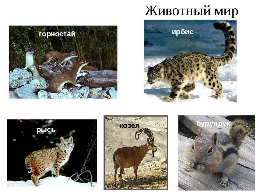 Животный мир горностай рысь ирбис козёл бурундук