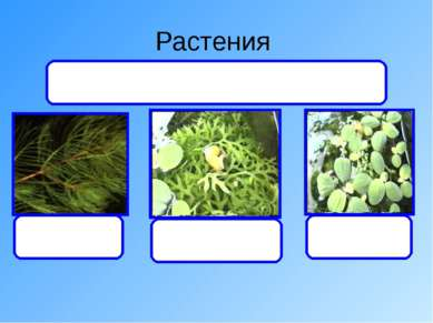 Растения уруть папоротник Писция Дают органический вещества и кислород, а пол...