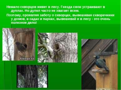 Немало скворцов живет в лесу. Гнезда свои устраивают в дуплах. Но дупел часто...