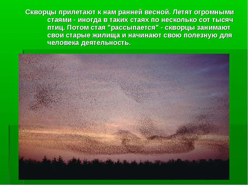 Скворцы прилетают к нам ранней весной. Летят огромными стаями - иногда в таки...
