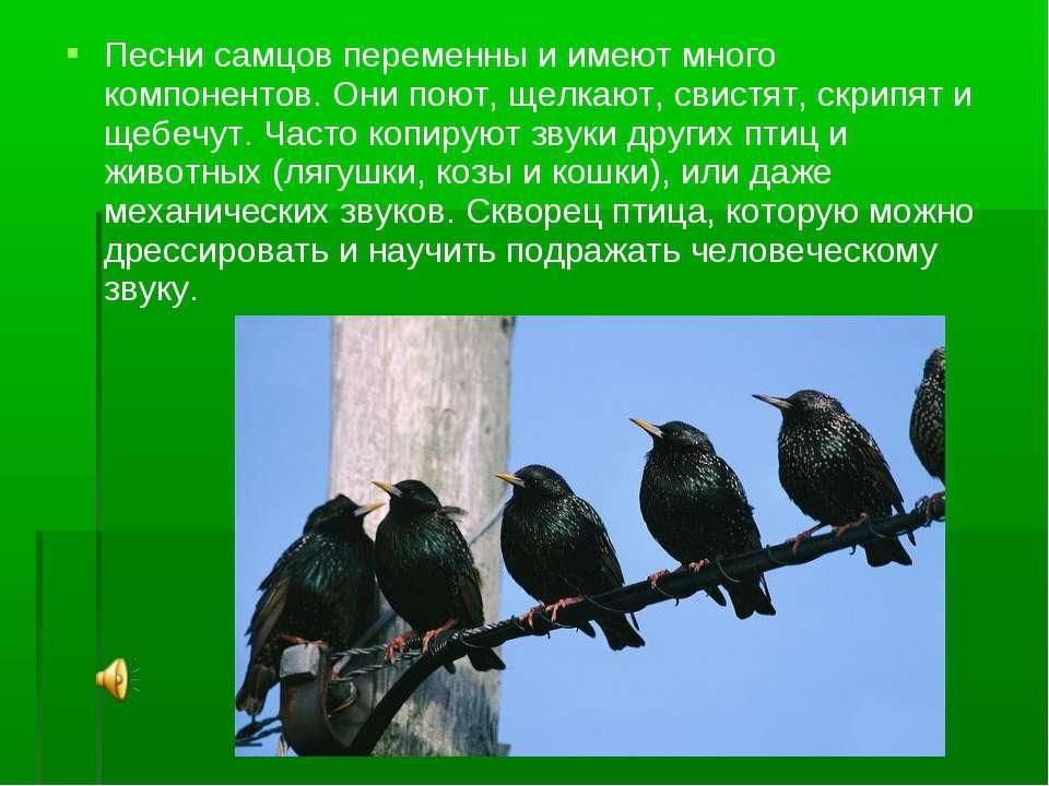 Песни самцов переменны и имеют много компонентов. Они поют, щелкают, свистят,...