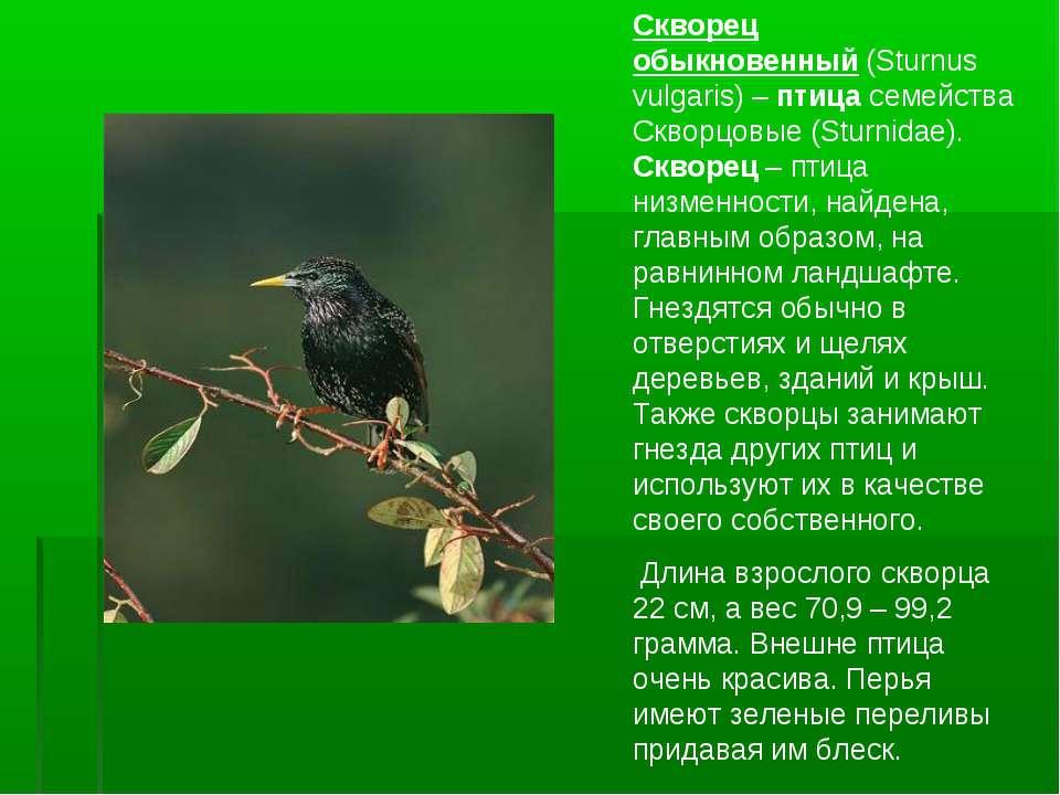 Скворец обыкновенный(Sturnus vulgaris) –птицасемейства Скворцовые (Sturnid...