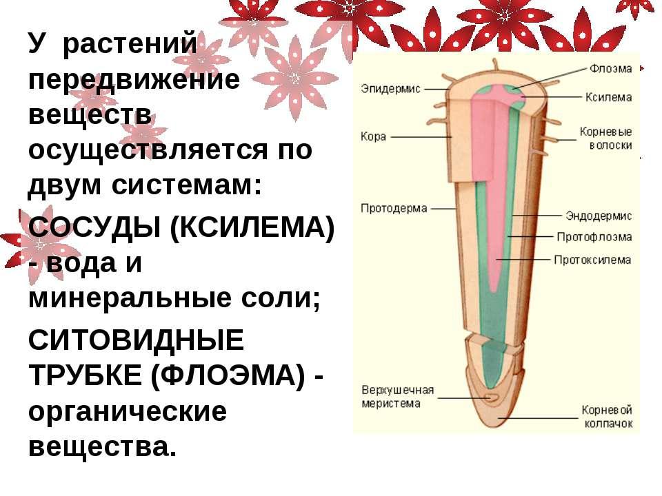 У растений передвижение веществ осуществляется по двум системам: СОСУДЫ (КСИЛ...