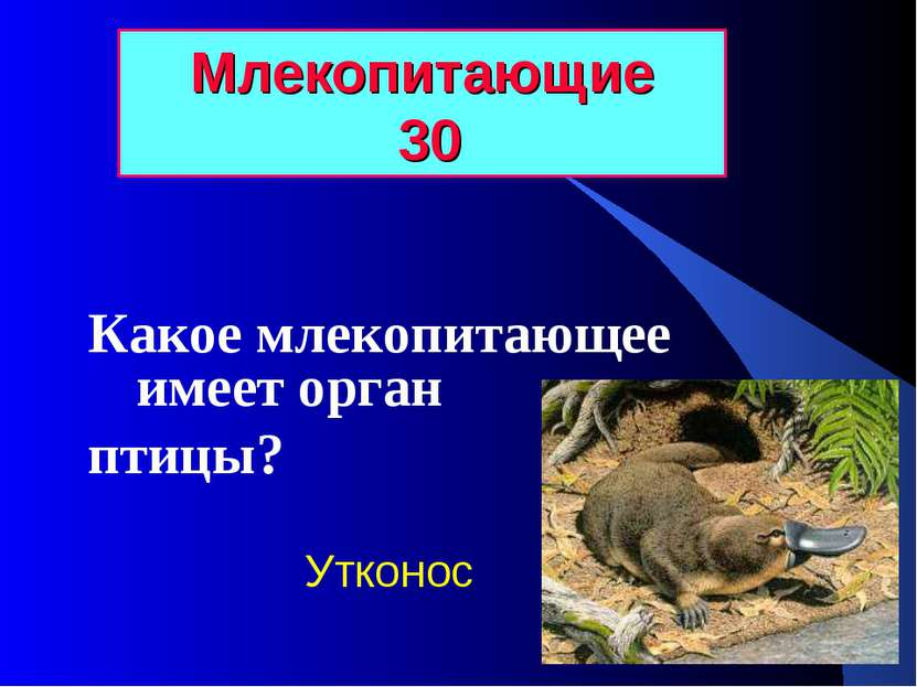 Млекопитающие 30 Какое млекопитающее имеет орган птицы? Утконос