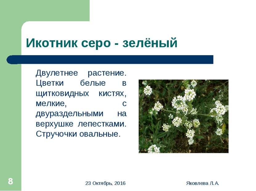 * Яковлева Л.А. * Икотник серо - зелёный Двулетнее растение. Цветки белые в щ...