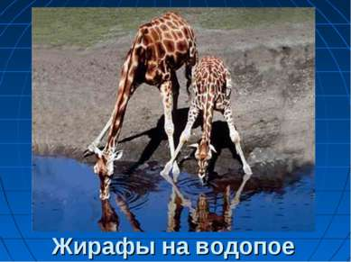Жирафы на водопое