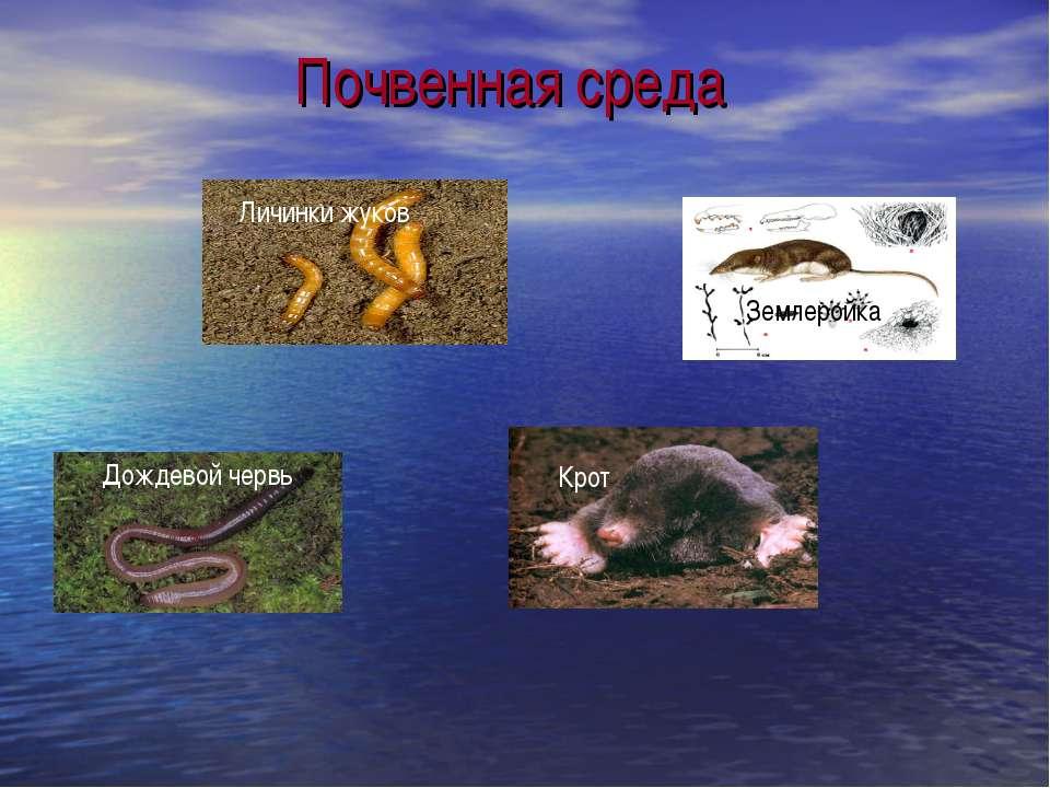 Почвенная среда Личинки жуков Землеройка Дождевой червь Крот