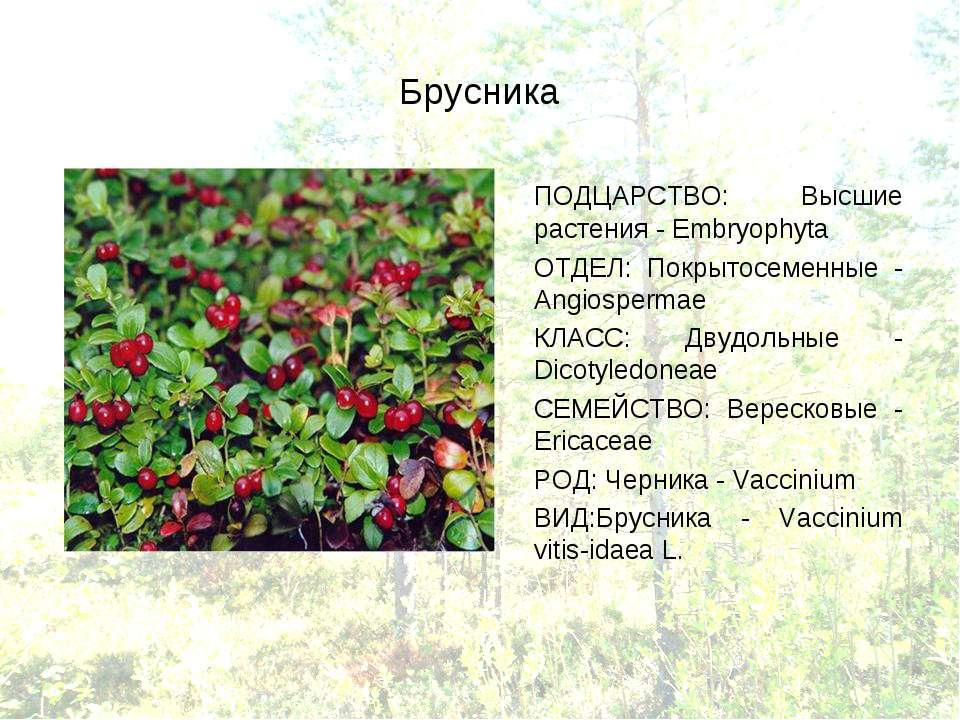 Брусника ПОДЦАРСТВО: Высшие растения - Embryophyta ОТДЕЛ: Покрытосеменные - A...