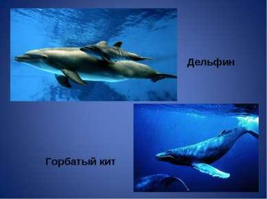 Дельфин Горбатый кит