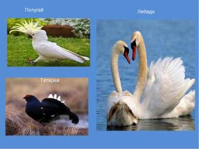 Попугай Лебеди Тетерев