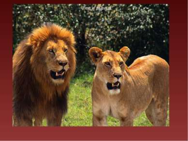 Фрагмент фильма о хищнике фрагмент фильма о хищнике Лев и львица