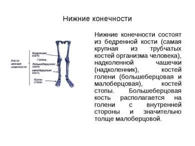 Нижние конечности Нижние конечности состоят из бедренной кости (самая крупная...
