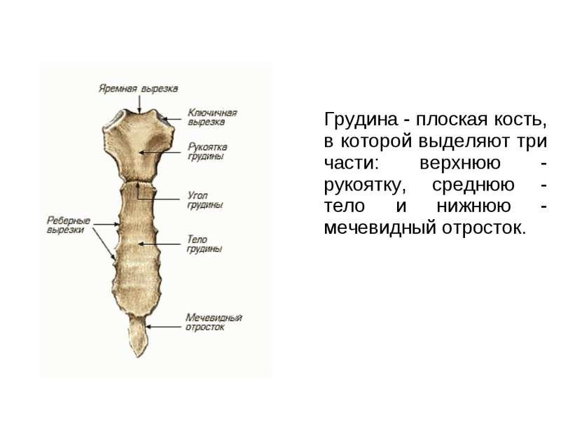 Грудина - плоская кость, в которой выделяют три части: верхнюю - рукоятку, ср...