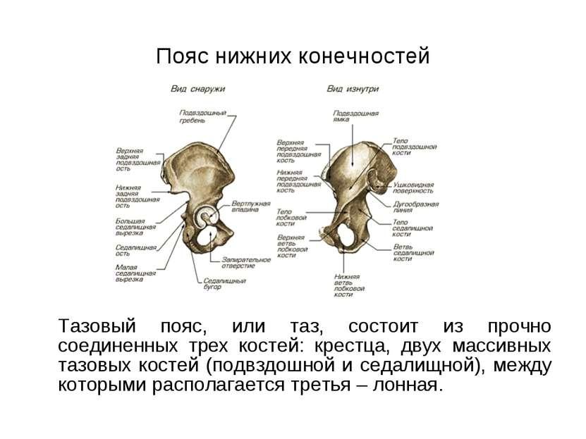 Пояс нижних конечностей Тазовый пояс, или таз, состоит из прочно соединенных ...