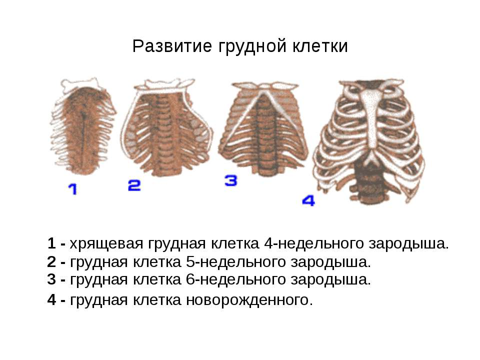 Развитие грудной клетки 1 - хрящевая грудная клетка 4-недельного зародыша. 2 ...