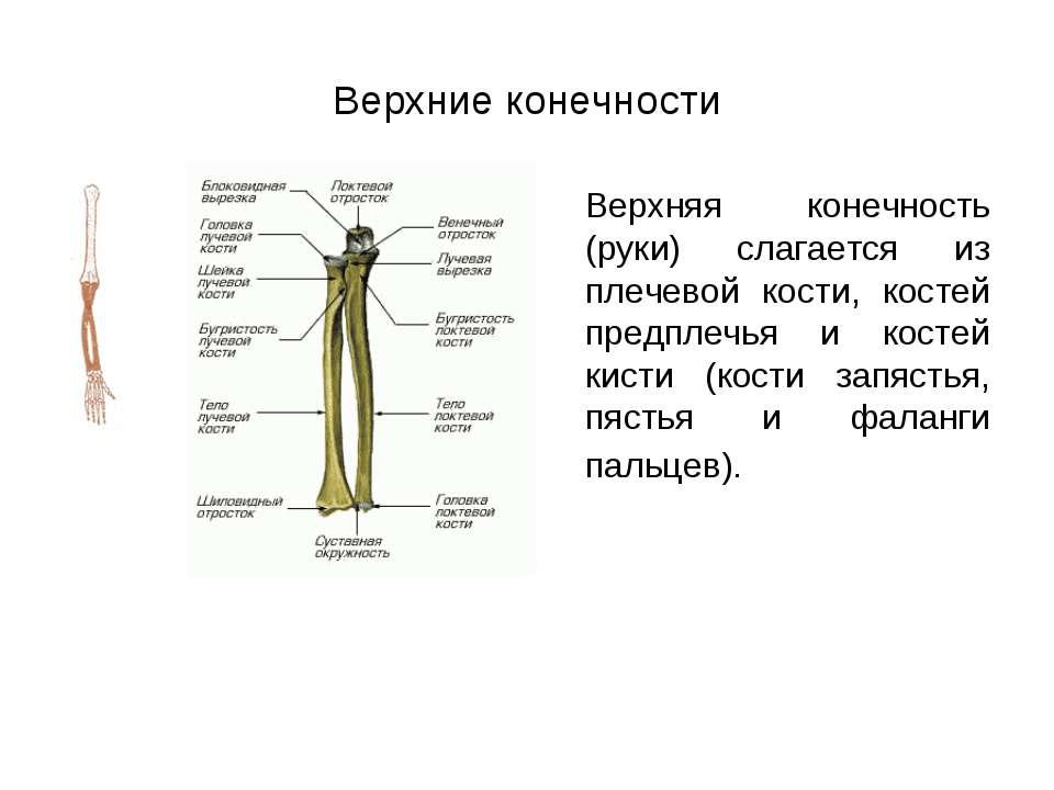 Верхние конечности Верхняя конечность (руки) слагается из плечевой кости, кос...