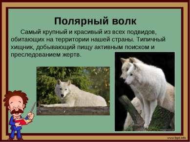 Полярный волк Самый крупный и красивый из всех подвидов, обитающих на террито...