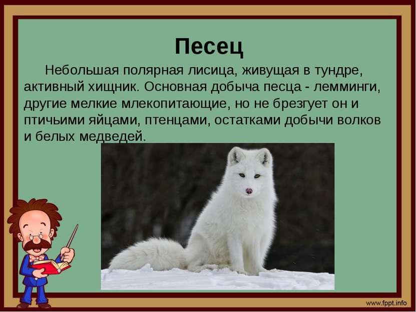 Песец Небольшая полярная лисица, живущая в тундре, активный хищник. Основная ...