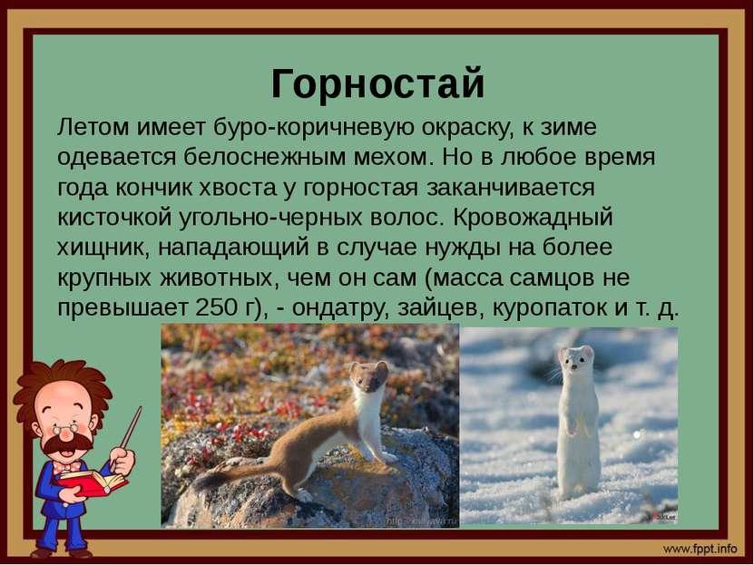 Горностай Летом имеет буро-коричневую окраску, к зиме одевается белоснежным м...