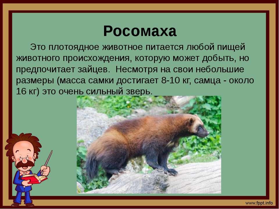 Росомаха Это плотоядное животное питается любой пищей животного происхождения...