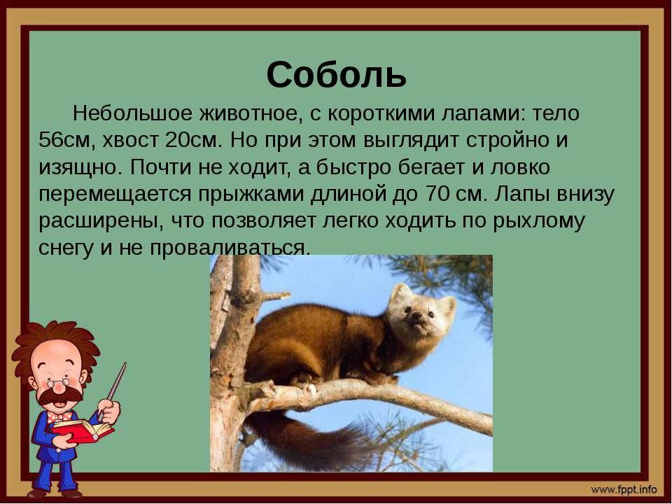 Соболь Небольшое животное, с короткими лапами: тело 56см, хвост 20см. Но при ...