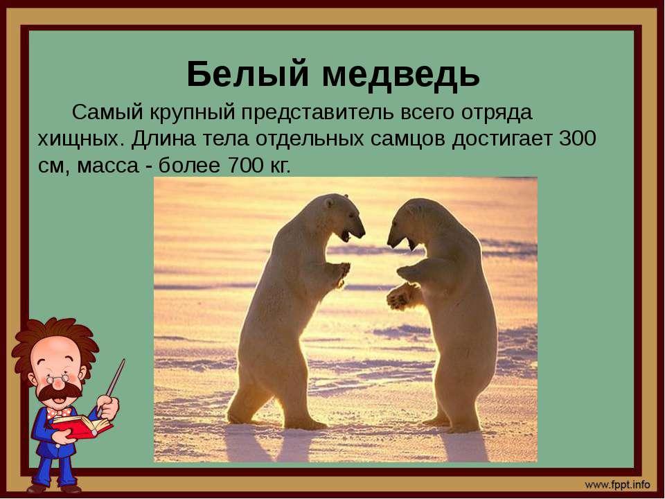 Белый медведь Самый крупный представитель всего отряда хищных. Длина тела отд...