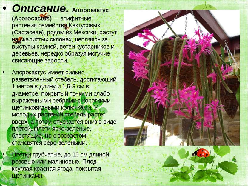 Описание. Апорокактус (Aporocactus) — эпифитные растения семейства Кактусовых...
