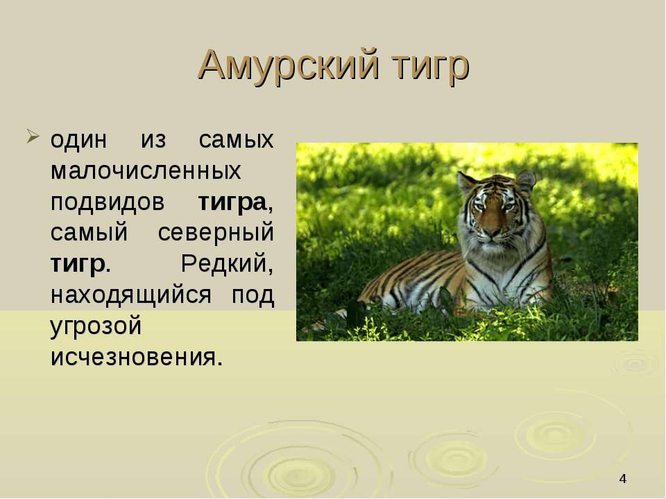 * Амурский тигр один из самых малочисленных подвидов тигра, самый северный ти...