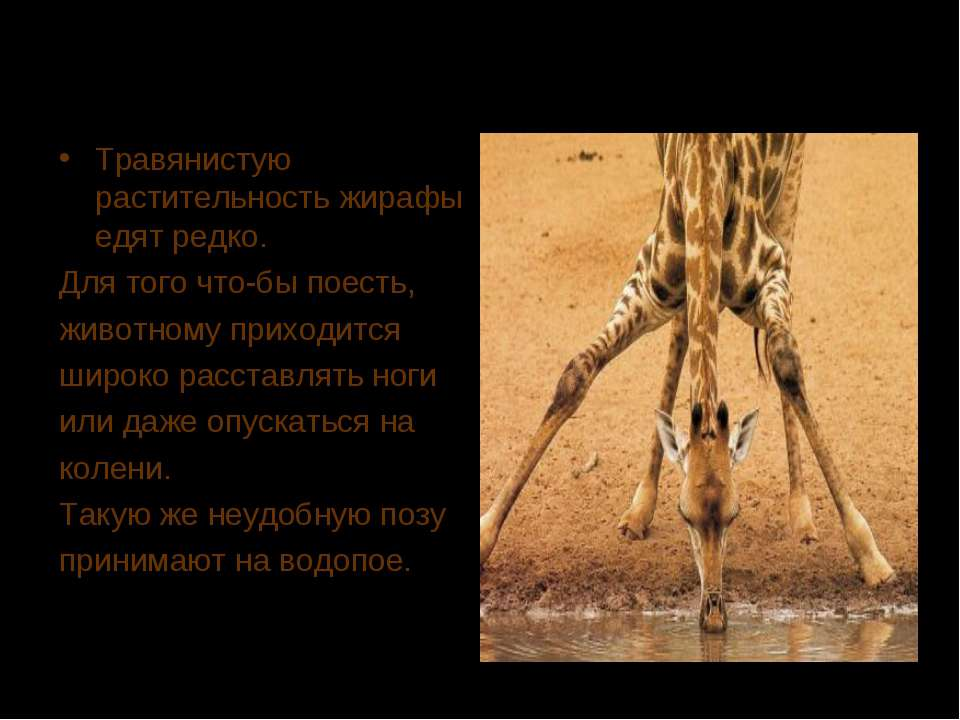 Травянистую растительность жирафы едят редко. Для того что-бы поесть, животно...