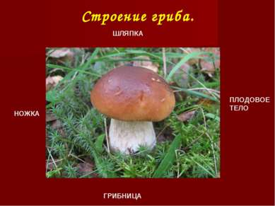 Строение гриба. ШЛЯПКА НОЖКА ПЛОДОВОЕ ТЕЛО ГРИБНИЦА