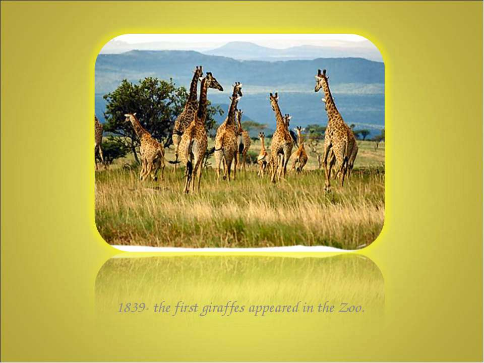 1839- the first giraffes appeared in the Zoo.