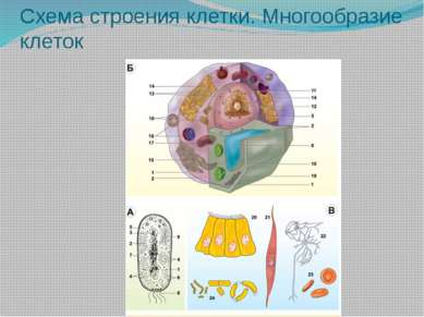 Схема строения клетки. Многообразие клеток