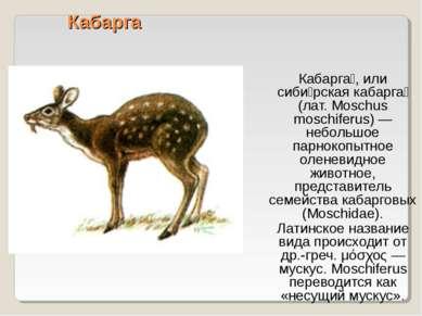 Кабарга Кабарга , или сиби рская кабарга (лат. Moschus moschiferus) — небольш...