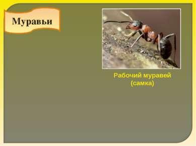 Муравьи Рабочий муравей (самка)