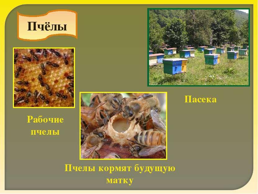Пчёлы Рабочие пчелы Пчелы кормят будущую матку Пасека