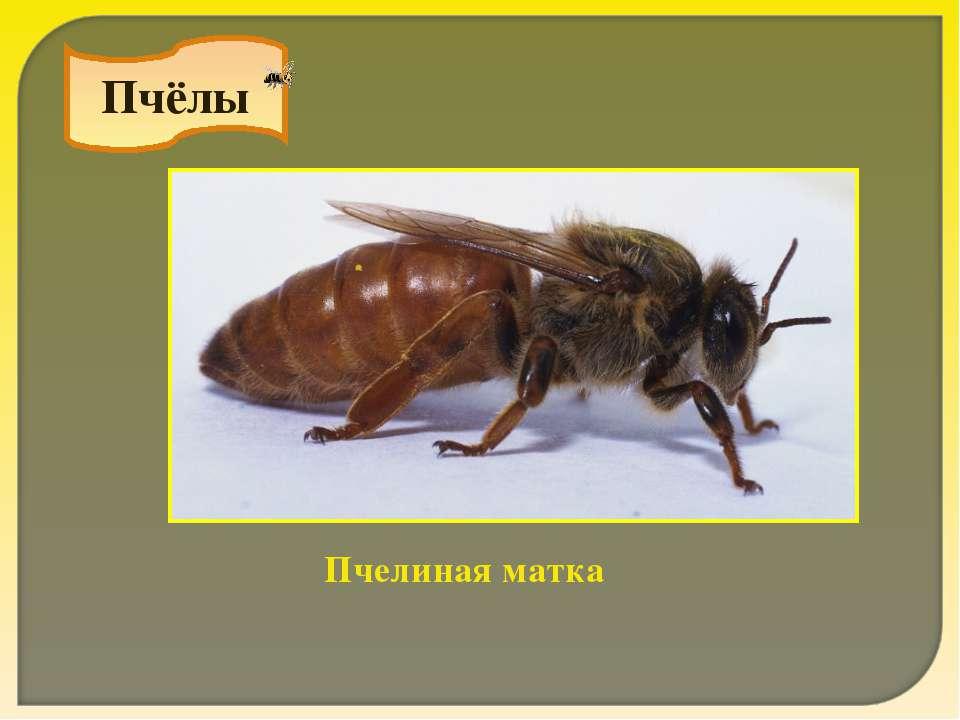 Пчёлы Пчелиная матка