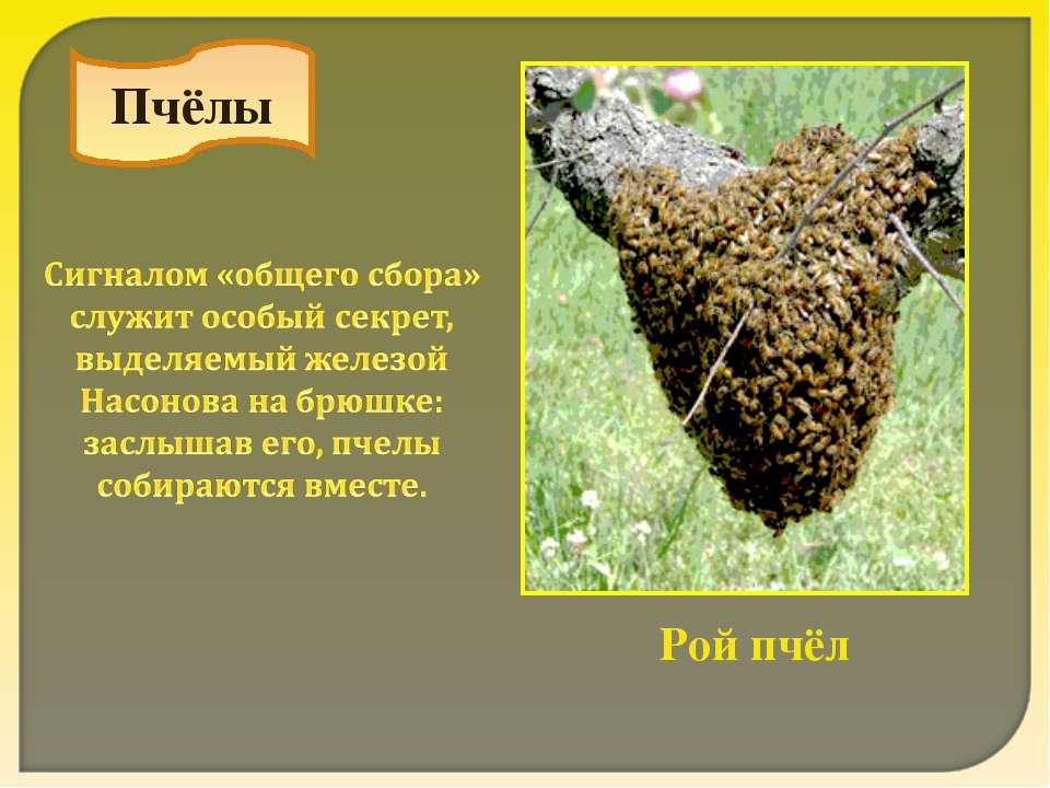Пчёлы Рой пчёл